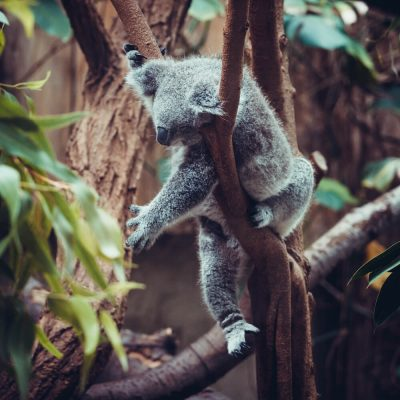 australian-koala-bear-sleep-on-a-tree-trunk-koala-PYHNVNG